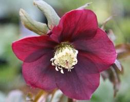 Helleborus x hybridus Harvington red (Lenten rose hellebore)