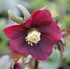 Helleborus × hybridus Harvington red