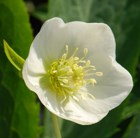 Helleborus × hybridus Harvington white