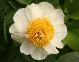 Paeonia 'Claire de Lune' (paeony / peony)