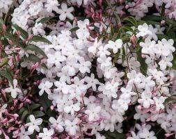 Jasminum polyanthum (scented Chinese jasmine (on a hoop))