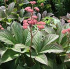 Rodgersia pinnata Superba