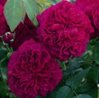 Rosa William Shakespeare 2000 = 'Ausromeo' (PBR)
