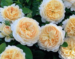 Rosa Crocus Rose ('Ausquest') (PBR) (rose Crocus Rose (shrub))