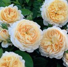 Rosa Crocus Rose = 'Ausquest' (PBR)
