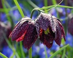 Fritillaria meleagris (snake's head fritillary bulbs)