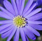 winter windflower blue-flowered