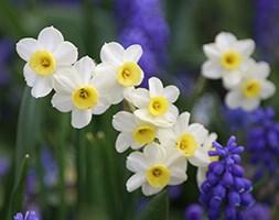 Narcissus 'Minnow' (tazetta daffodil bulbs)