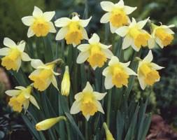 Narcissus 'Topolino' (trumpet daffodil bulbs)