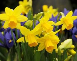 Narcissus 'TÃ </p> </div>  <div class=