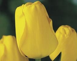 Tulipa 'Golden Apeldoorn' (Tulip)