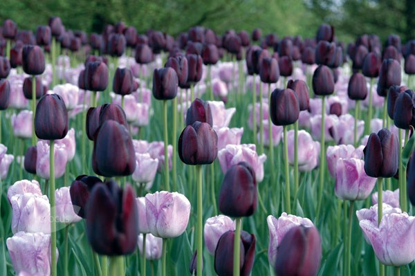 single late tulip bulbs