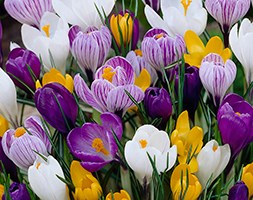 Crocus mixed colour collection (large flowering crocus bulbs)