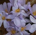 crocus Zonatus - autumn flowering crocus
