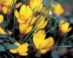 Crocus chrysanthus var. fuscotinctus (species crocus)