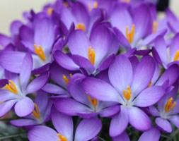 Crocus tommasinianus 'Whitewell Purple' (crocus bulbs)