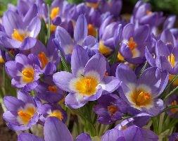 Crocus sieberi subsp. sublimis 'Tricolor' (crocus bulbs)