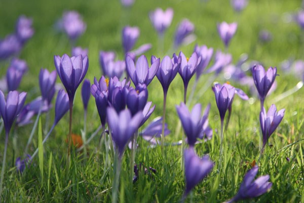 autumn crocus bulbs