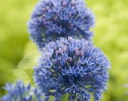 Allium caeruleum (allium bulbs)