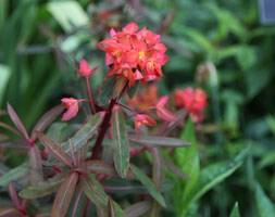 Euphorbia griffithii 'Dixter' (spurge)