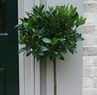 bay laurel (standard)