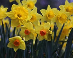 mixed Narcissus for naturalising (mixed daffodil collection bulbs)