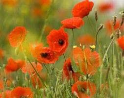Papaver rhoeas (field poppy)