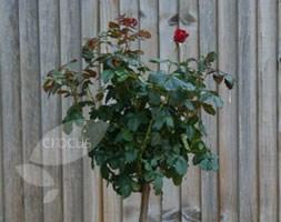 Rosa Ruby Anniversary  ('Harbonny') (PBR) (standard rose Ruby Anniversary  (patio))