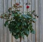 Rosa Ruby Anniversary
