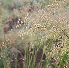 common quaking grass