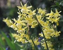 Narcissus 'Hawera' (Narcissus)