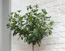 Viburnum tinus (1/4 standard laurustinus)