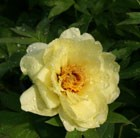 Paeonia Yellow