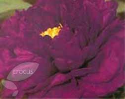 Paeonia Deep Purple (tree peony / tree paeony)