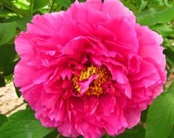 Paeonia Deep Pink (tree peony / tree paeony)