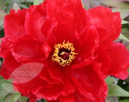 Paeonia Red (tree peony / tree paeony)