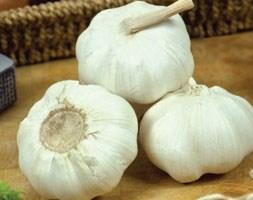 garlic 'Marco' (garlic)