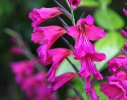 Gladiolus byzantinus (gladiolus bulbs)