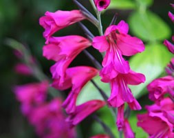 Gladiolus italicus (gladiolus byzantinus)