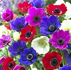 Anemone coronaria De Caen Group Mixed