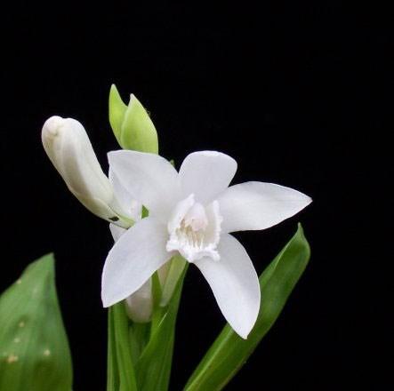 Bletilla striata alba (half hardy orchid / Bletilla striata f. gebina)
