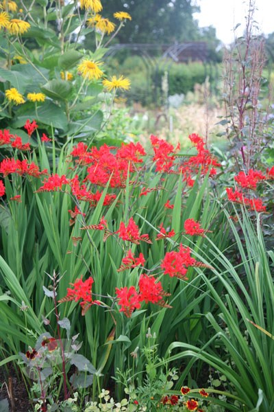 montbretia bulbs
