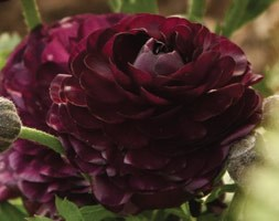 Ranunculus 'Purple Heart' (ranunculus bulbs)