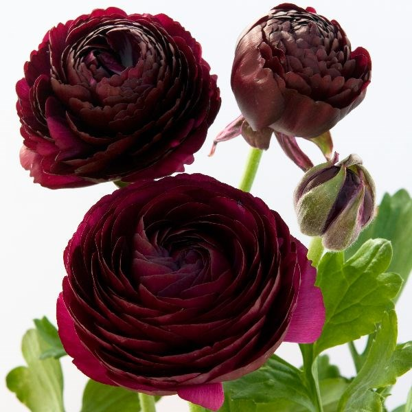 ranunculus bulbs