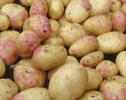 potato 'King Edward' (potato - early maincrop, Scottish basic seed potato)