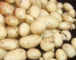 potato 'Maris Piper' (potato - early maincrop, Scottish basic seed potato)