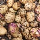 potato - second early, Scottish basic seed potato
