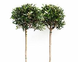 Olea europaea (olive tree - (mini 1/2 standard))