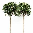olive tree - ( 1/2 standard )