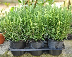 Rosmarinus officinalis (rosemary promotion - 6 pack)